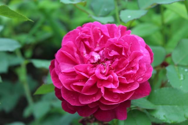 Розы цветут - Страница 21 27584320_m