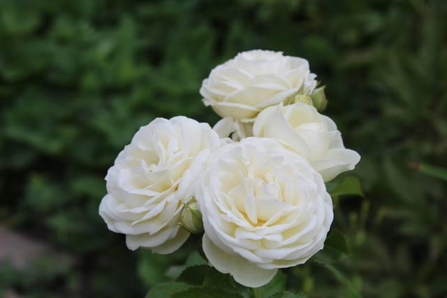 Розы цветут - Страница 21 27584434_m