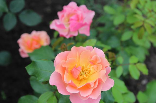 Розы цветут - Страница 21 27584435_m