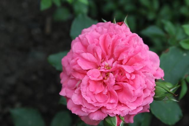 Розы цветут - Страница 21 27584436_m