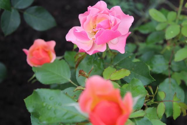 Розы цветут - Страница 21 27584437_m