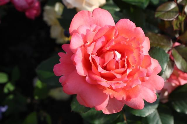 Розы цветут - Страница 21 27584439_m