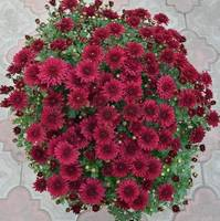 Хризантема мультифлора малиновый шар