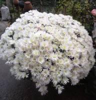 Хризантемы мультифлора Касабланка Вайт