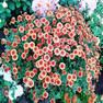 Хризантемы мультифлора Фигаро