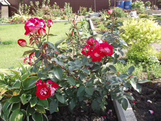 Розы ТОПАЛОВИЧ ВЕСНА 2020 - Страница 15 28038442_m