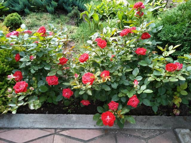 Розы ТОПАЛОВИЧ ВЕСНА 2020 - Страница 15 28043388_m