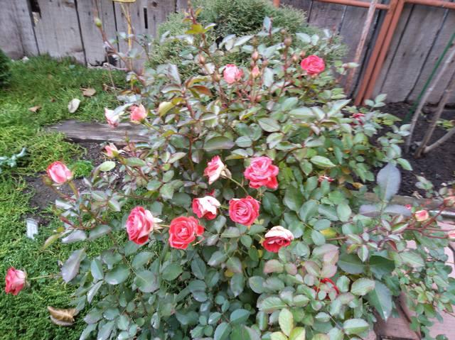 Розы ТОПАЛОВИЧ ВЕСНА 2020 - Страница 15 28043389_m