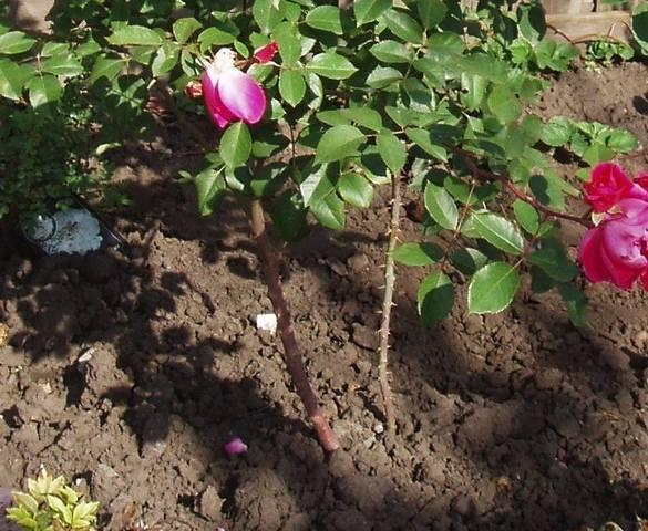 Розы цветут - Страница 23 28069666_m