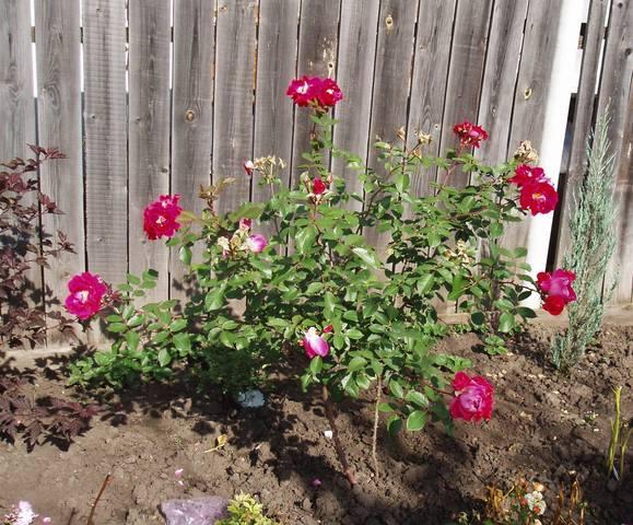 Розы цветут - Страница 23 28069665_m
