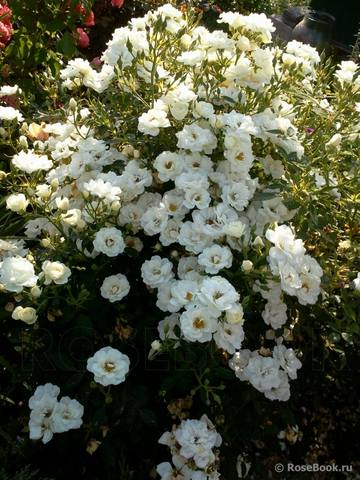 Розы ТОПАЛОВИЧ ВЕСНА 2020 - Страница 26 28843857_m