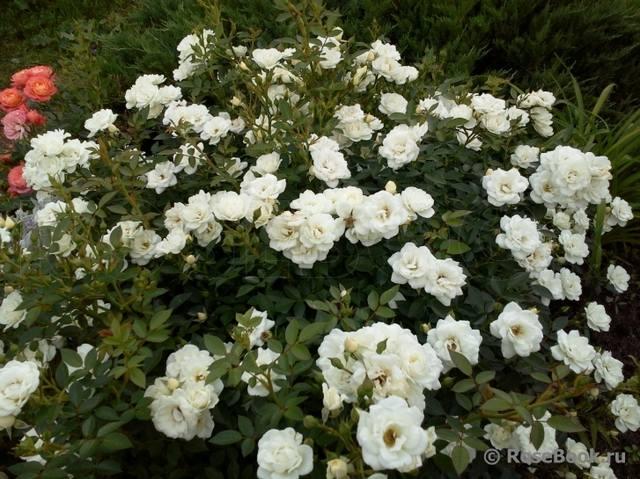 Розы ТОПАЛОВИЧ ВЕСНА 2020 - Страница 26 28843856_m