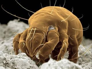 Пылевой клещ под микроскопом