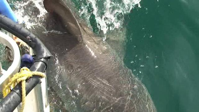 Наверное, всё-таки сноркелинг. Фотоохота на белых акул.