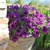 1Potunia Piccola Lilac Blue-228x228