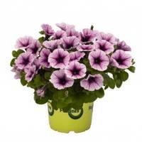 Potunia Piccola Purple Ice-228x228
