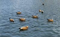 Китайские утки на Мосфильмовском прулу. Фото Морошкина В.В.