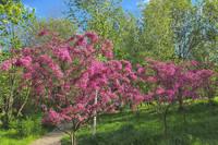 Японская вишня (сакура) в Госзаказнике Долина р.Сетунь. Фото Морошкина В.В.