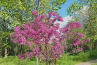 Цветущая сакура (японская вишня) в долине р. Сетунь. Фото Морошкина В.В.