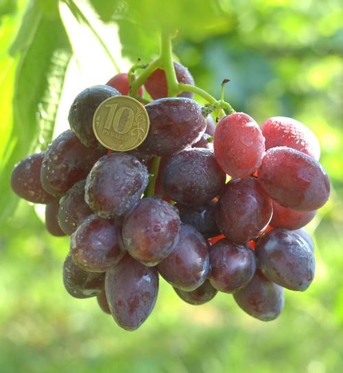 виноград Велюр