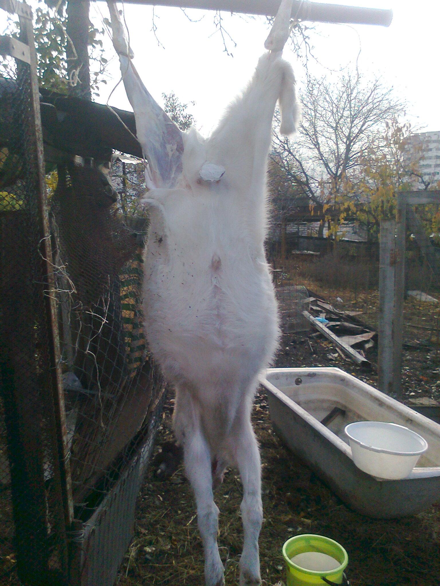 Понос у козлят: чем лечат в домашних условиях? 83
