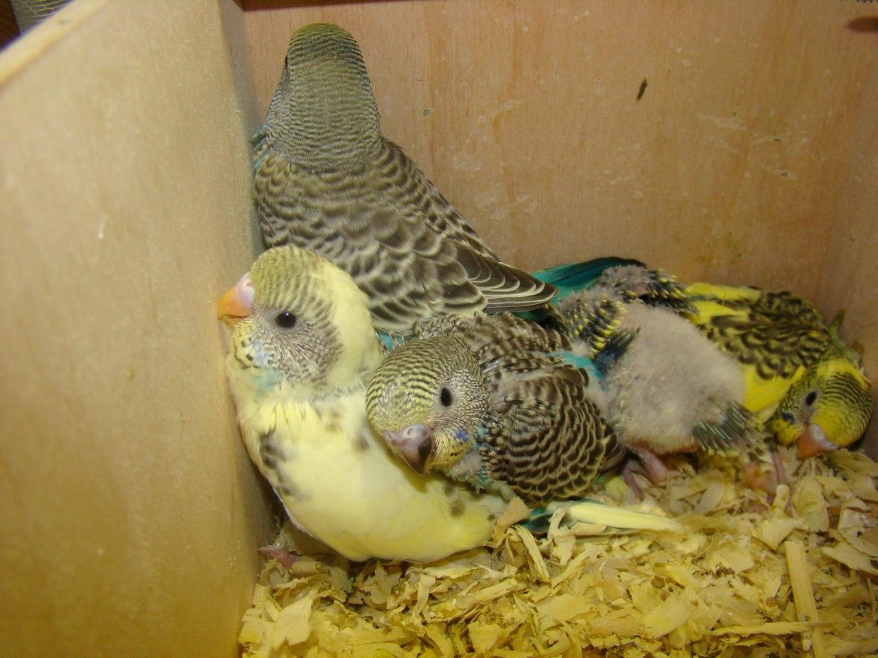 Волнистые попугаи размножение в домашних условиях 68