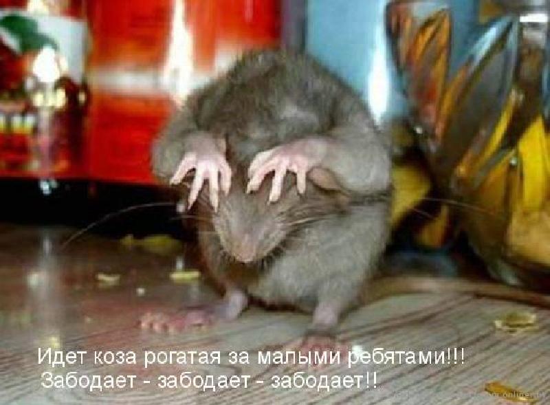 изложение как мы ловили крысу