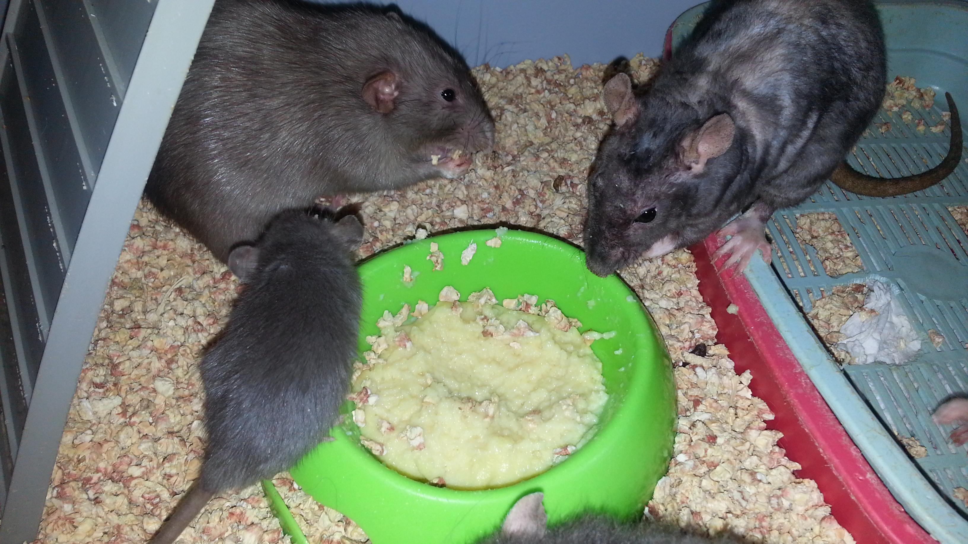 Декоративные крысы, описание, разновидности, уход, содержание 9