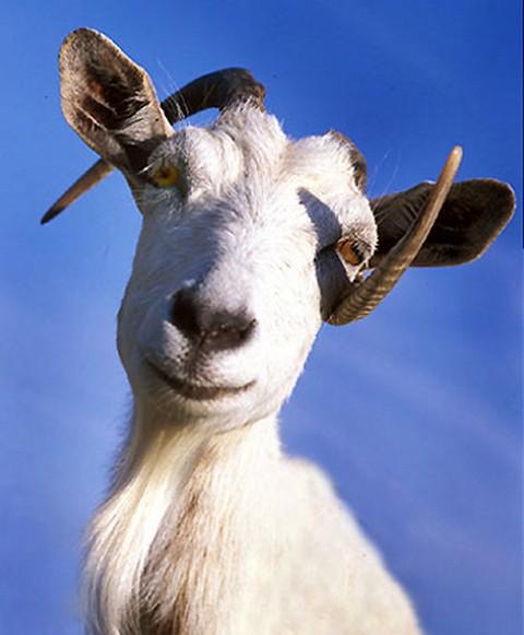 Поздравление новым, прикольные картинки с надписями коза