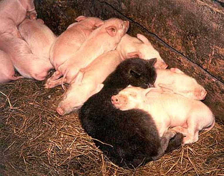 Благовещенье, прикольные картинки с надписями свинья