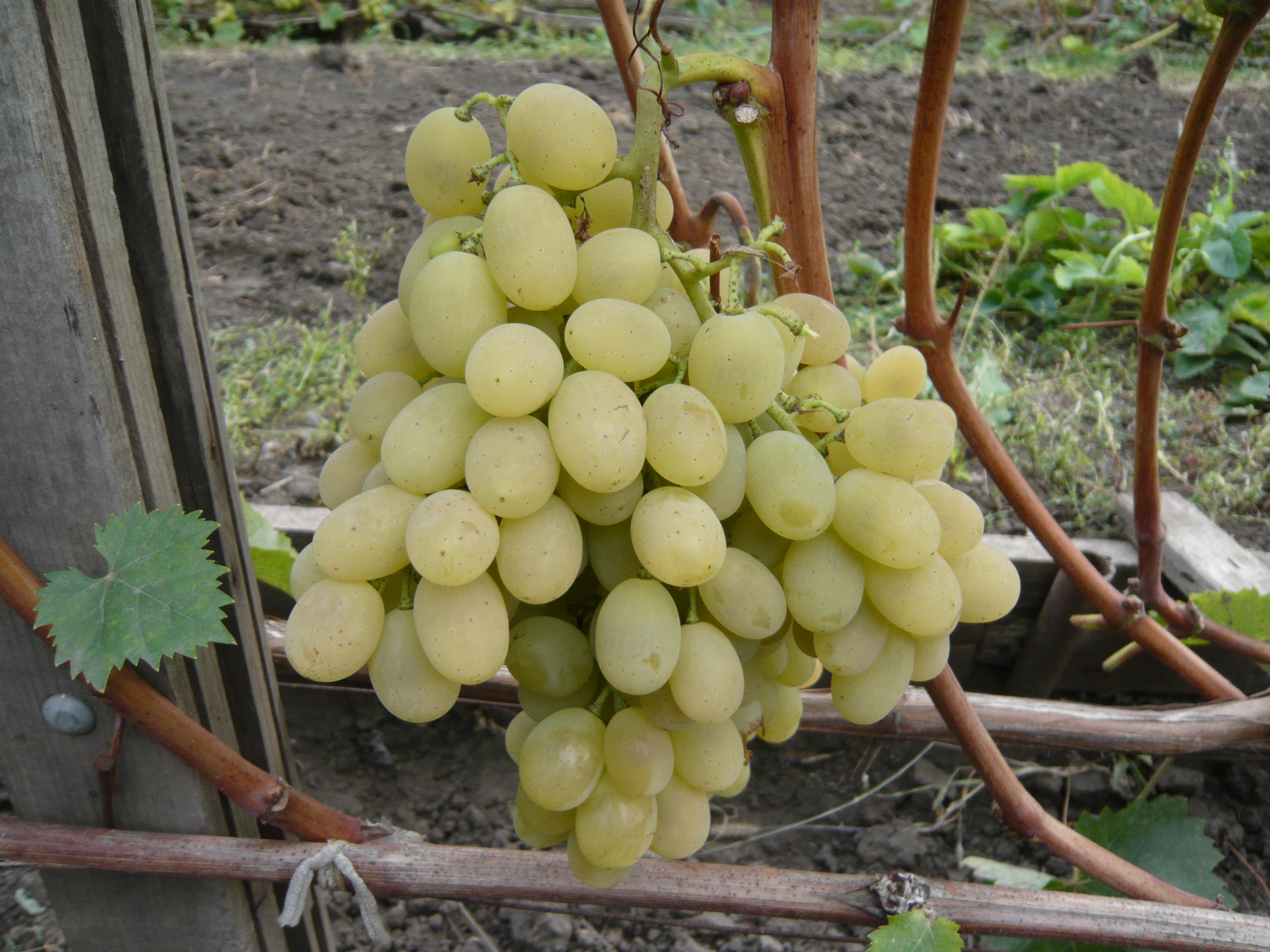 нужен старый виноград лора описание сорта фото отзывы вас получилось