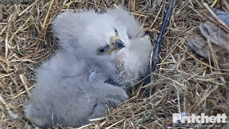 Harriet & M15, American Bald Eagle Cam - Page 2 20007635