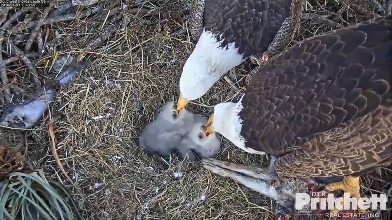 Harriet & M15, American Bald Eagle Cam - Page 2 20009910