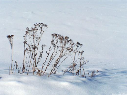 Травинки на снегу