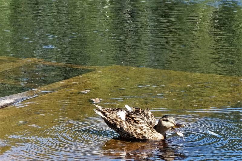 Уточки в озере