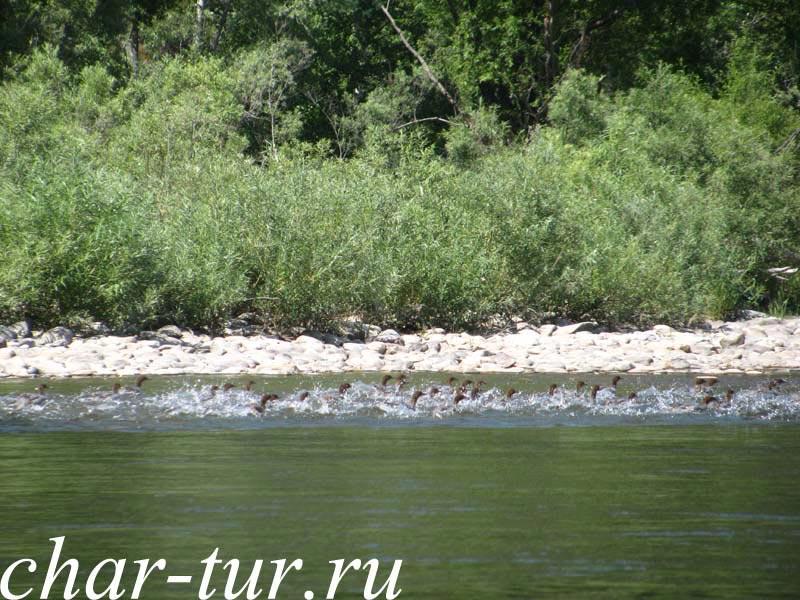 Утки на реке Чарыш