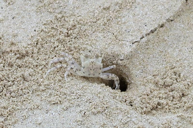 краб на пляже
