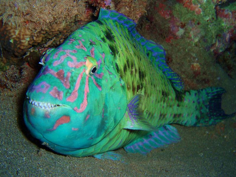 parrotfish-in-the-bottom-pic