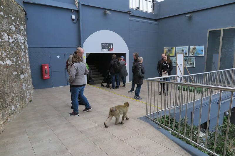 Гибралтарская макака и люди