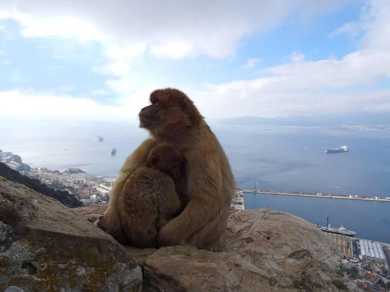 Маготы - гибралтарские макаки
