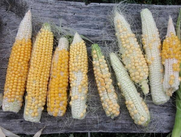 Молодая кукуруза в микроволновке