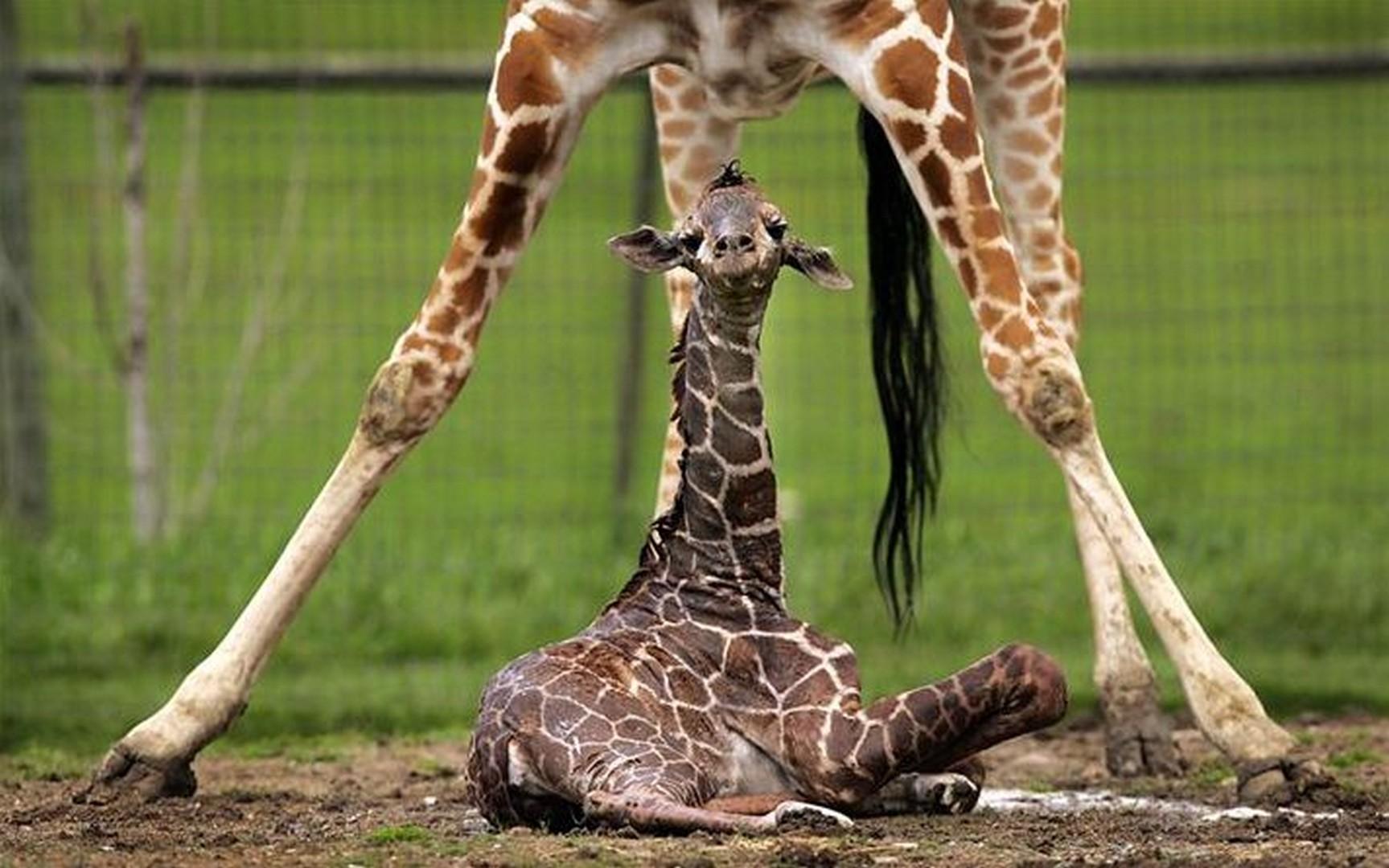 Смешные картинки с жирафом и хищником