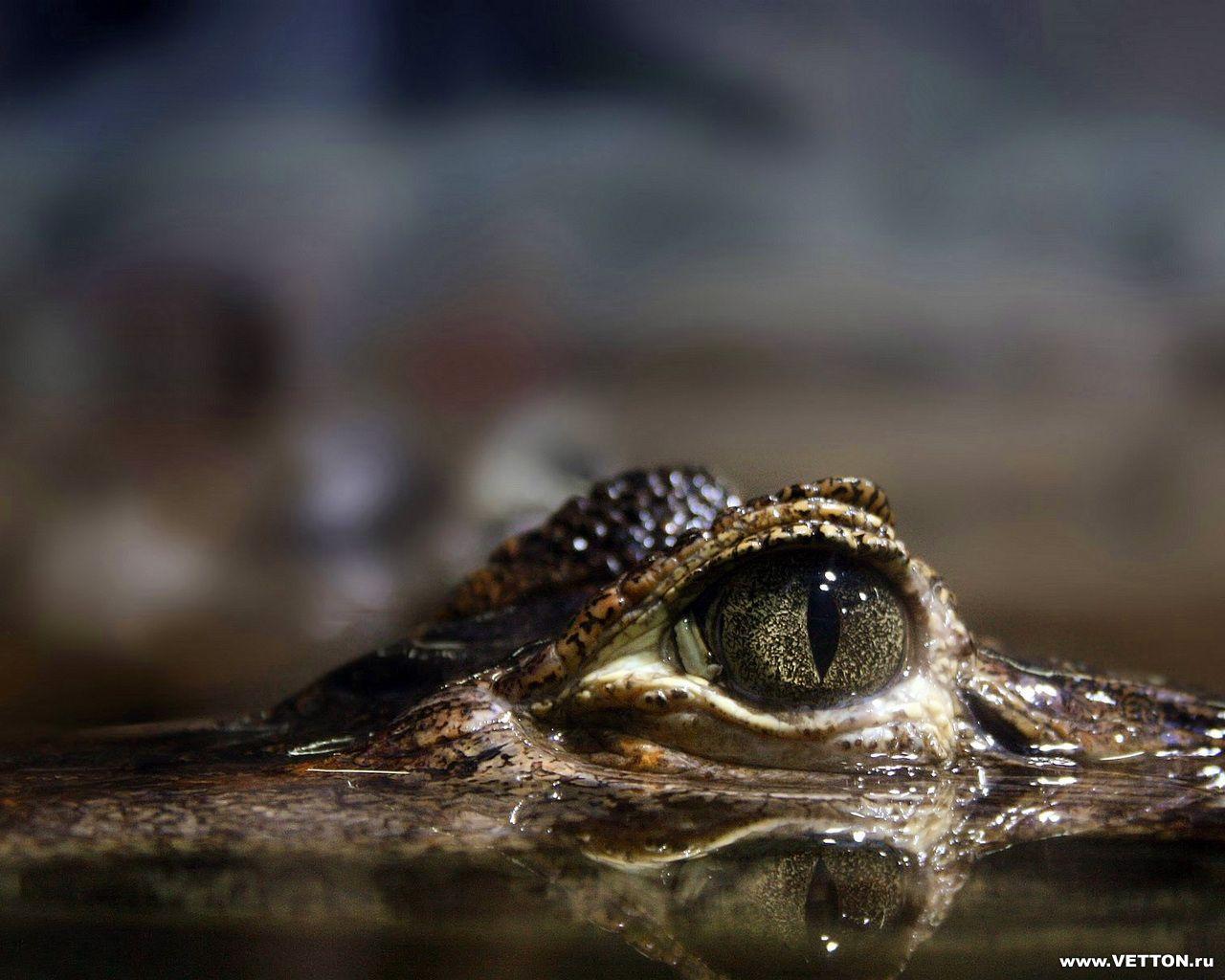 Глаза крокодила картинки