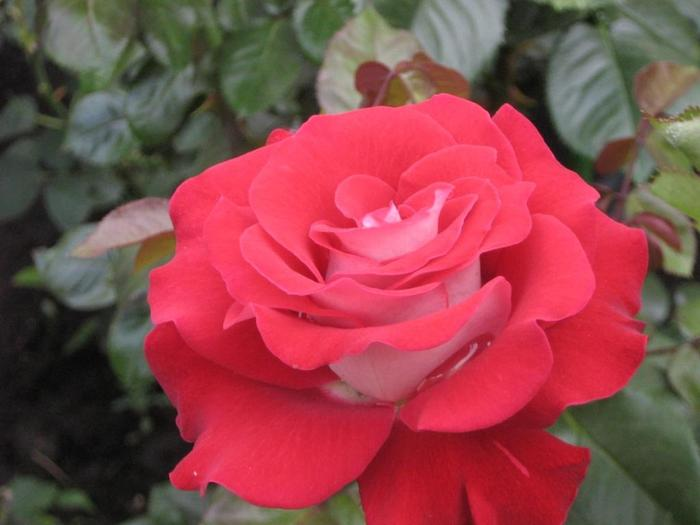 Роза софи лорен картинка