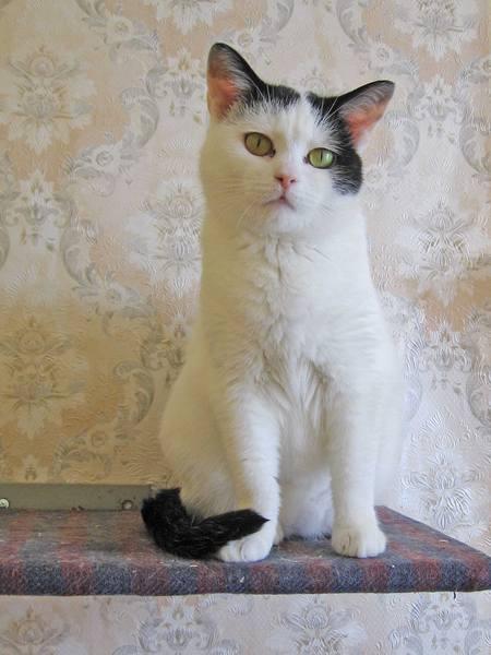 Картинки кошек белых с черными ушками