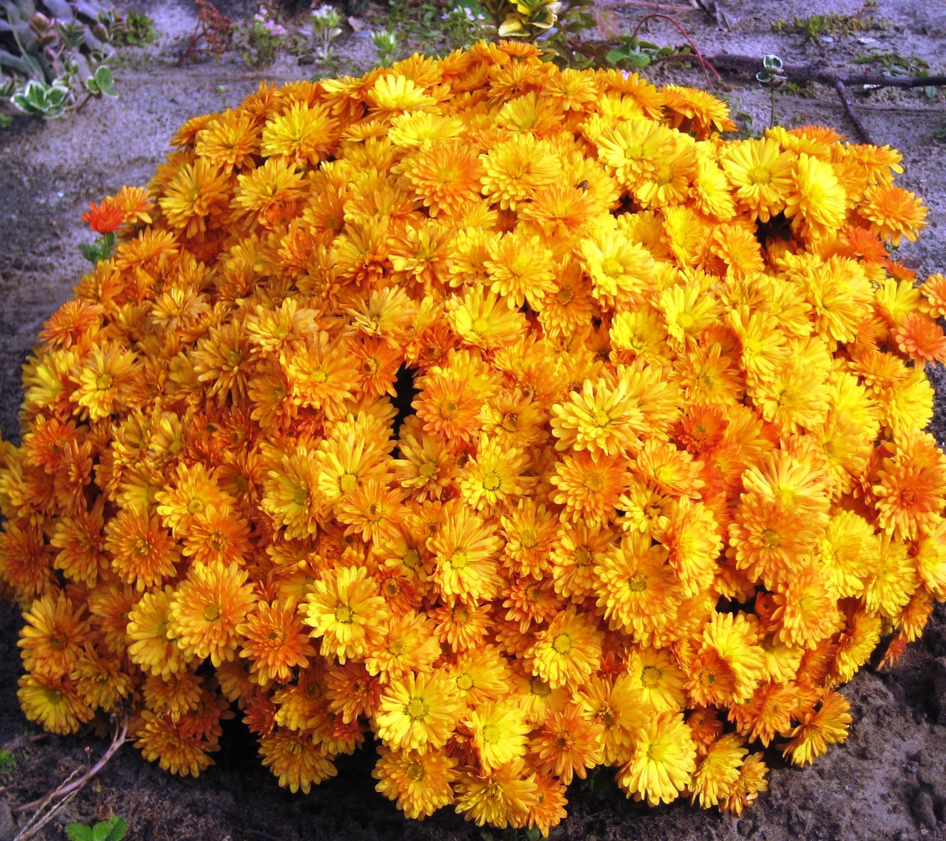 Хризантема мультифлора картинка